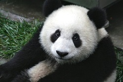 Panda Bear Image by Skeeze from Pixabay